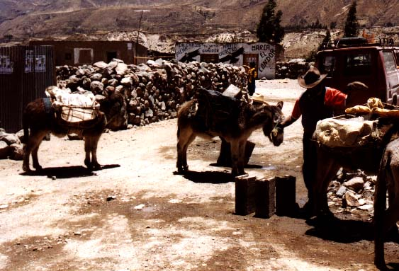Donkeys bring rocks for a new house